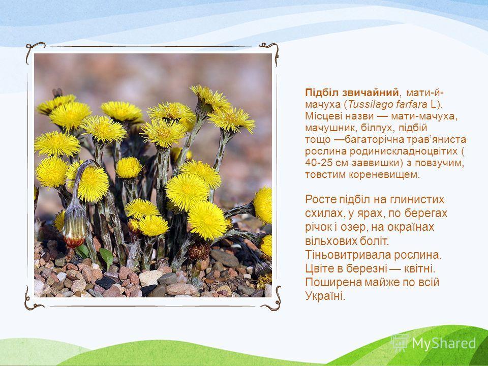 Простріл розкритий, або Сон-трава (лат. Pulsatilla pátens) - багаторічна трав'яниста рослина, вид роду Простріл сімейства Лютикова (Лютикова).