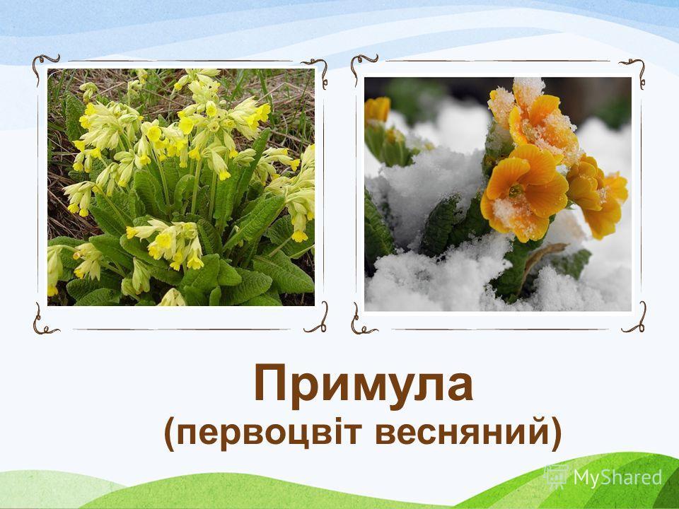 Проліска чи пролісок (Scilla) рід трав'янистих рослин родини гіацинтових (Hyacinthaceae). Стебло безлисте; цибулина яйцевидна, 23 сантиметри у діаметрі. Листки лінійні, відходять від основи стебла. Квітки двостатеві, правильні, блакитні, сині, зрідка