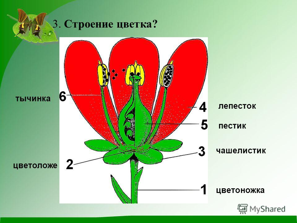 3. Строение цветка? цветоножка тычинка лепесток пестик чашелистик цветоложе
