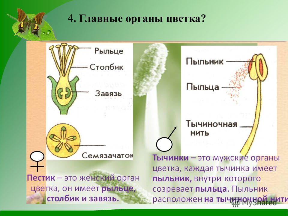 4. Главные органы цветка?
