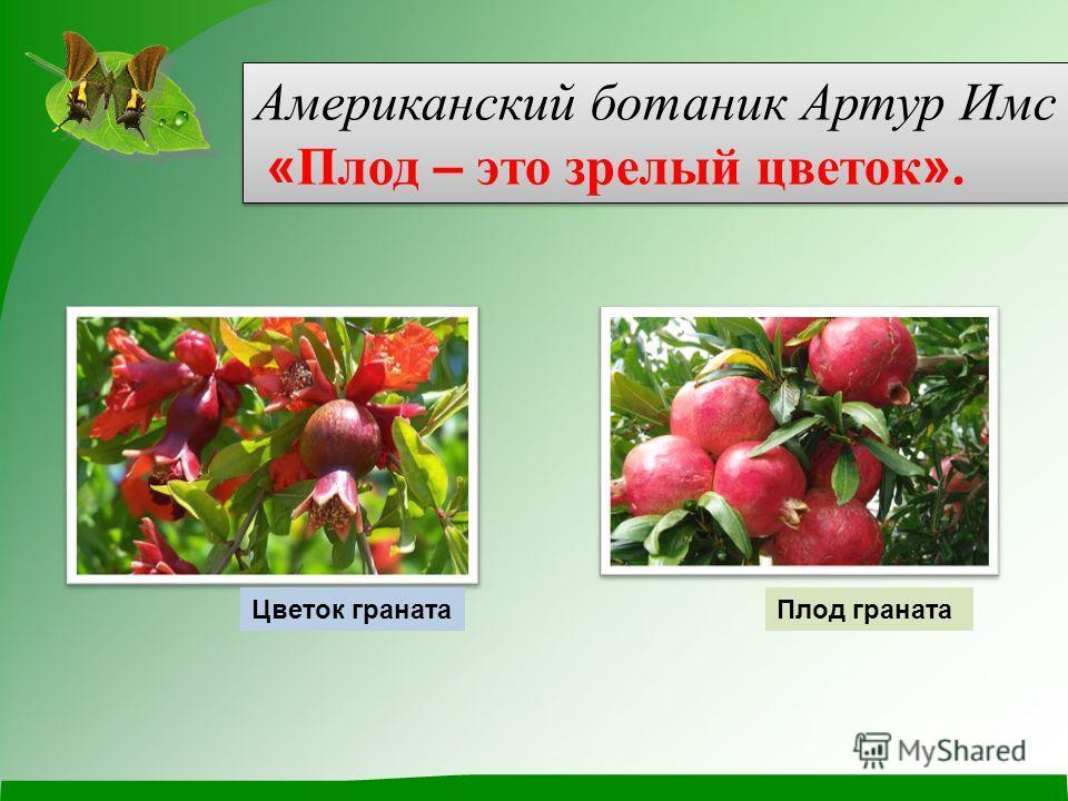 Американский ботаник Артур Имс « Плод – это зрелый цветок ». Американский ботаник Артур Имс « Плод – это зрелый цветок ». Плод гранатаЦветок граната