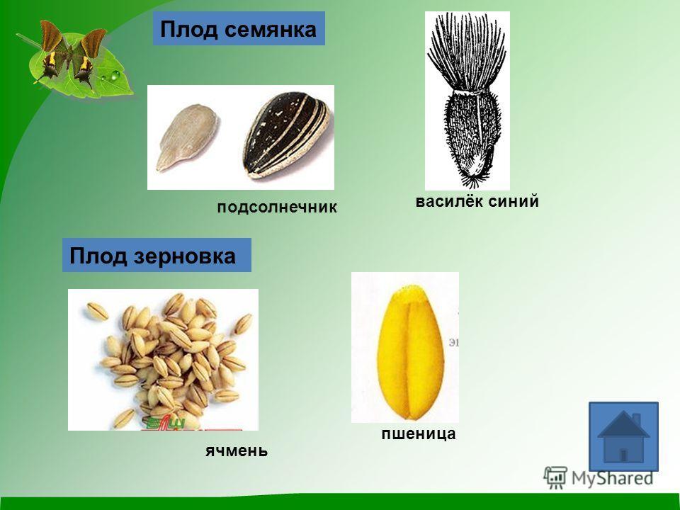 Плод семянка подсолнечник василёк синий Плод зерновка пшеница ячмень