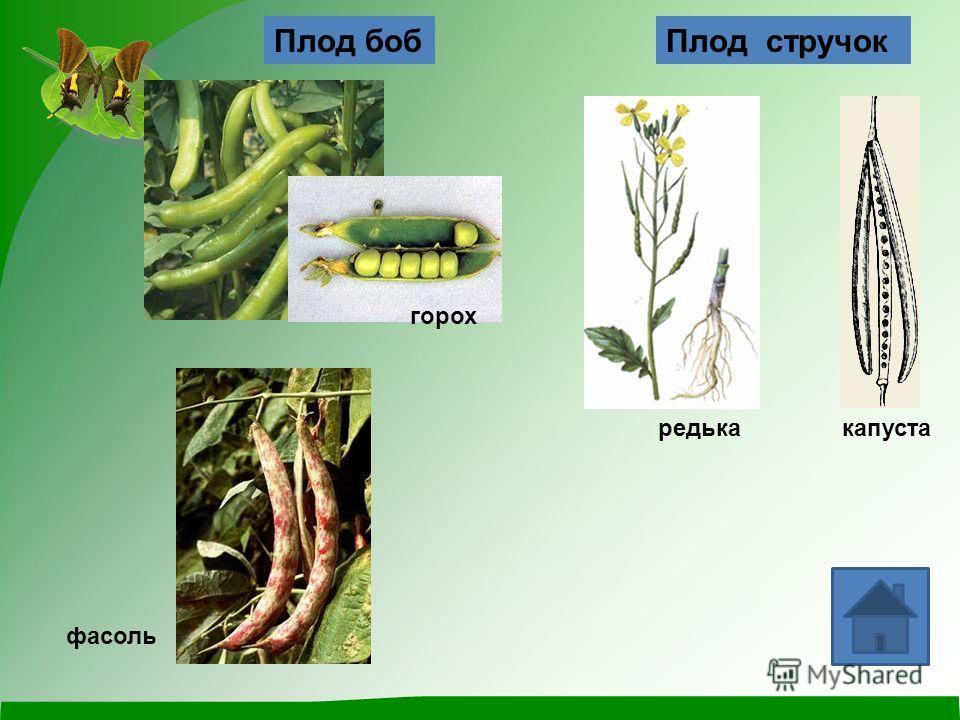 Плод бобПлод стручок фасоль горох редькакапуста