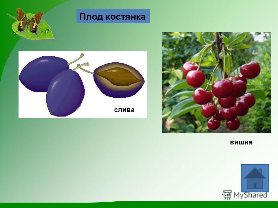 Плод костянка слива вишня