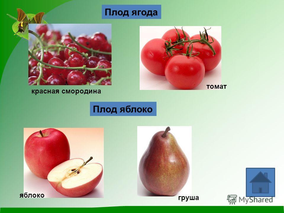 Плод ягода Плод яблоко красная смородина яблоко груша томат