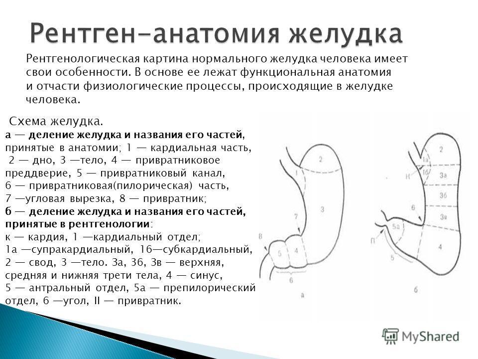 Схема желудка. а деление