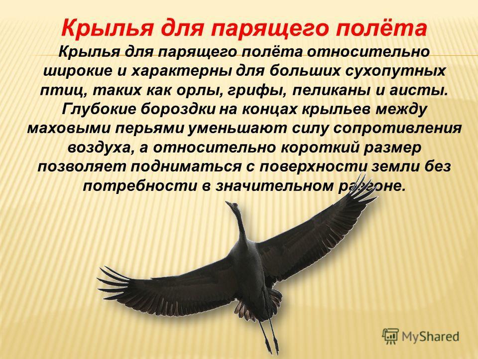 Крылья с относительно большим удлинением. Крылья с относительно большим удлинением являются очень длинными и стройными, и обычно они характеризуются низкой нагрузкой на крыло и используются для медленного полёта, почти парения. Такие крылья характерн