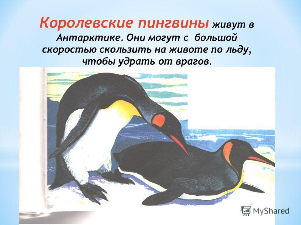 Королевские пингвины живут в Антарктике. Они могут с большой скоростью скользить на животе по льду, чтобы удрать от врагов.