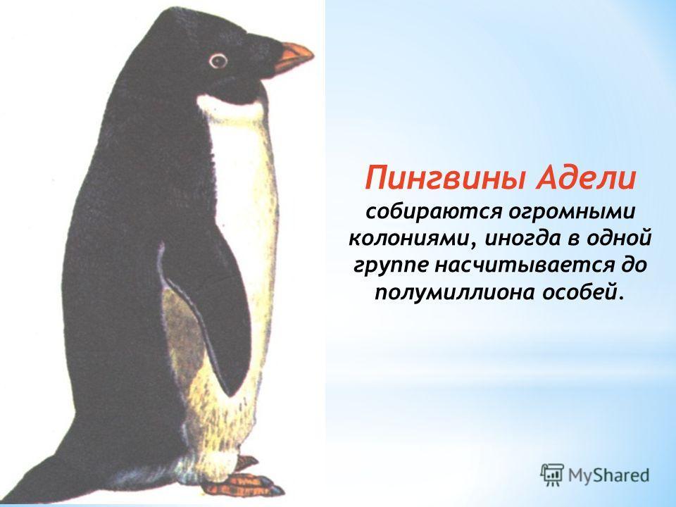 Пингвины Адели собираются огромными колониями, иногда в одной группе насчитывается до полумиллиона особей.