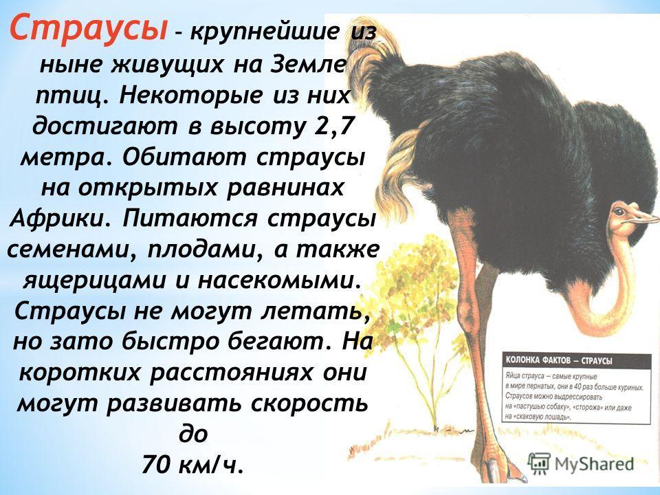 Страусы – крупнейшие из ныне живущих на Земле птиц. Некоторые из них достигают в высоту 2,7 метра. Обитают страусы на открытых равнинах Африки. Питаются страусы семенами, плодами, а также ящерицами и насекомыми. Страусы не могут летать, но зато быстр
