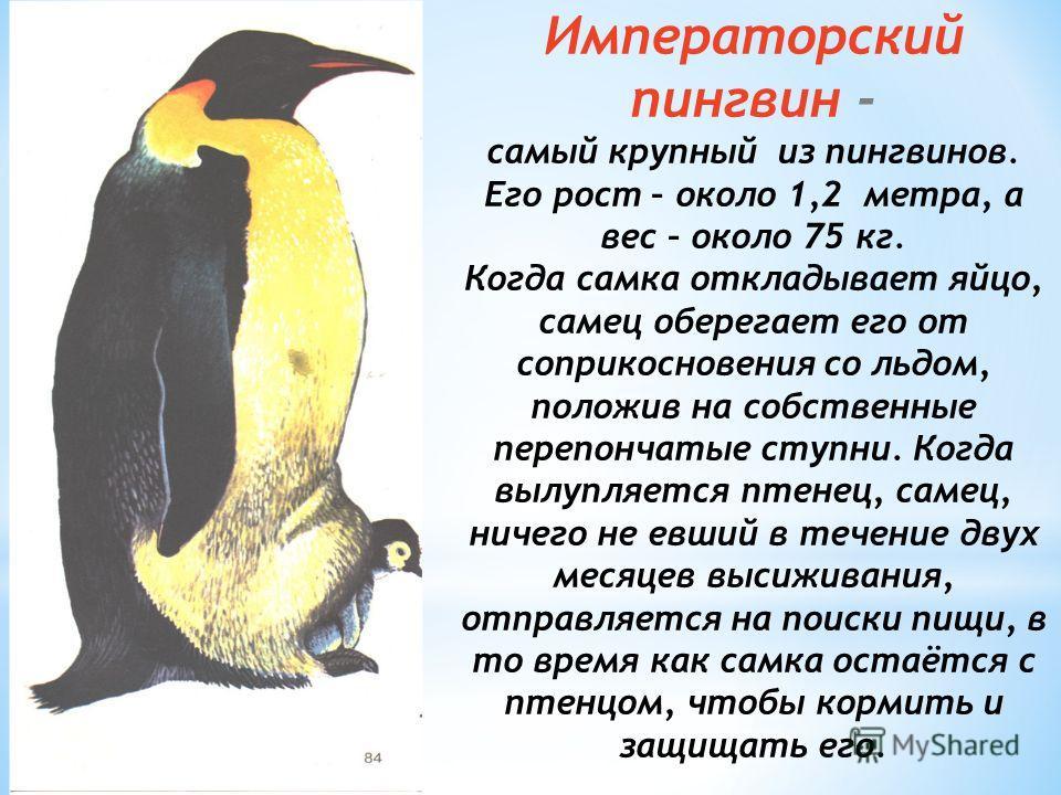 Императорский пингвин - самый крупный из пингвинов. Его рост – около 1,2 метра, а вес – около 75 кг. Когда самка откладывает яйцо, самец оберегает его от соприкосновения со льдом, положив на собственные перепончатые ступни. Когда вылупляется птенец,