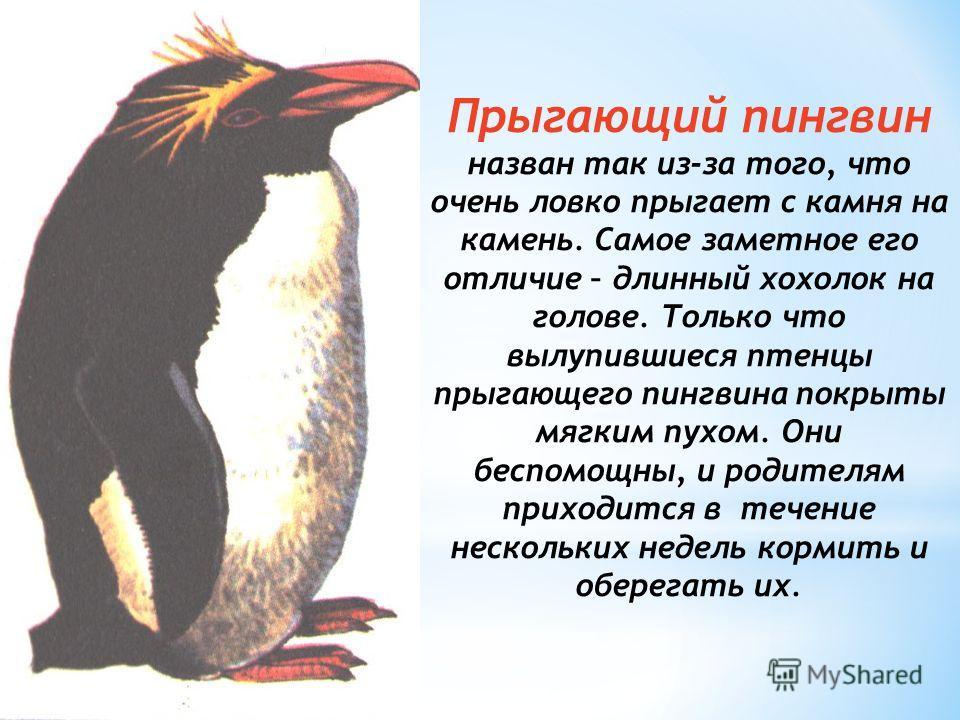 Прыгающий пингвин назван так из-за того, что очень ловко прыгает с камня на камень. Самое заметное его отличие – длинный хохолок на голове. Только что вылупившиеся птенцы прыгающего пингвина покрыты мягким пухом. Они беспомощны, и родителям приходитс