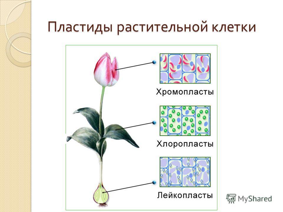 Пластиды растительной клетки