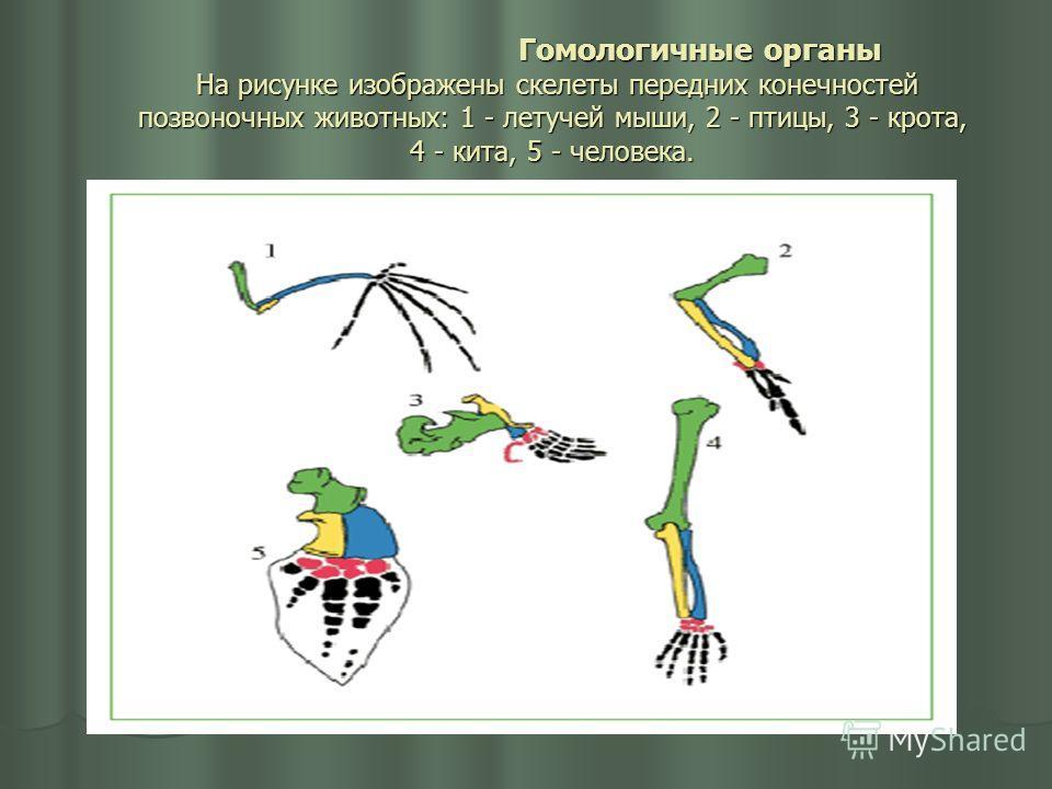 Гомологичные органы На рисунке изображены скелеты передних конечностей позвоночных животных: 1 - летучей мыши, 2 - птицы, 3 - крота, 4 - кита, 5 - человека. Гомологичные органы На рисунке изображены скелеты передних конечностей позвоночных животных:
