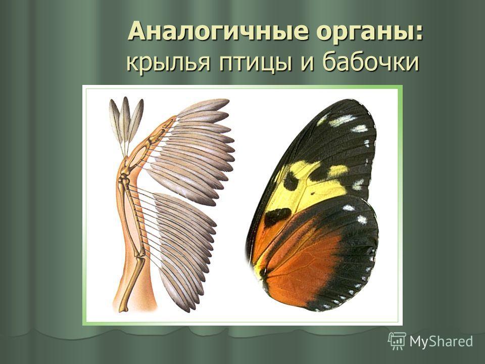 Аналогичные органы: крылья птицы и бабочки Аналогичные органы: крылья птицы и бабочки