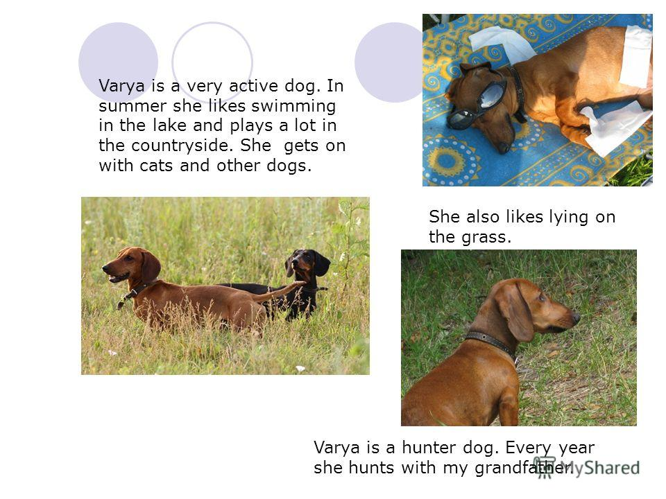 Varya is a very active dog. In summer she likes swimming in the lake and plays a lot in the countryside. She gets on with cats and other dogs. Varya is a hunter dog. Every year she hunts with my grandfather. She also likes lying on the grass.