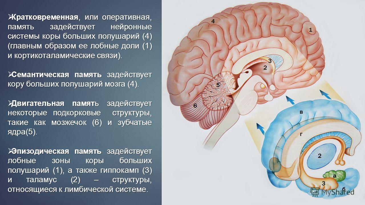 Кратковременная, или оперативная, память задействует нейронные системы коры больших полушарий (4) (главным образом ее лобные доли (1) и кортикоталамические связи). Кратковременная, или оперативная, память задействует нейронные системы коры больших по