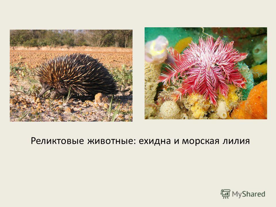 Реликтовые животные: ехидна и морская лилия