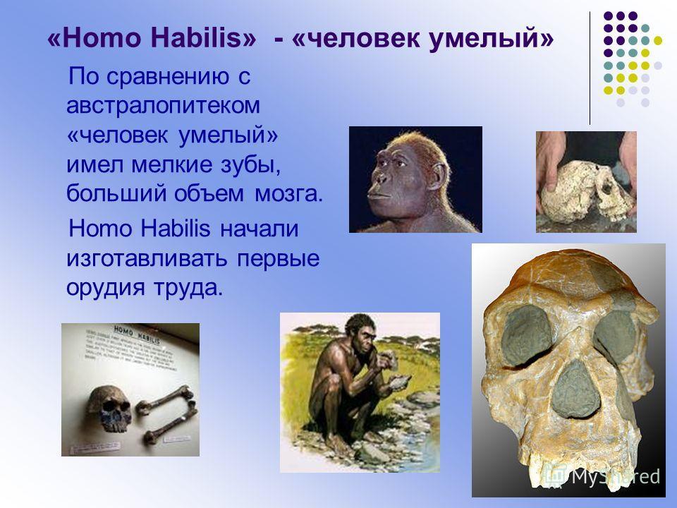 «Homo Habilis» - «человек умелый» По сравнению с австралопитеком «человек умелый» имел мелкие зубы, больший объем мозга. Homo Habilis начали изготавливать первые орудия труда.
