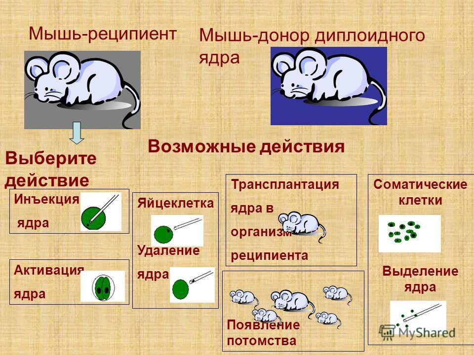 Возможные действия Мышь-реципиент Мышь-донор диплоидного ядра Выберите действие Инъекция ядра Активация ядра Яйцеклетка Удаление ядра Трансплантация ядра в организм реципиента Появление потомства Соматические клетки Выделение ядра