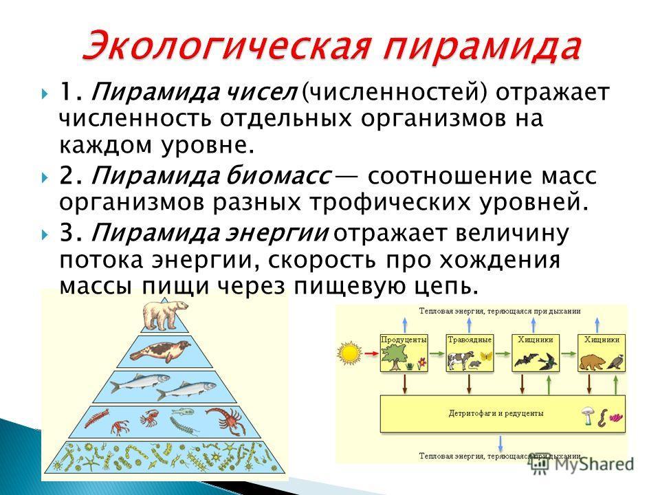 1. Пирамида чисел (численностей) отражает численность отдельных организмов на каждом уровне. 2. Пирамида биомасс соотношение масс организмов разных трофических уровней. 3. Пирамида энергии отражает величину потока энергии, скорость про хождения массы