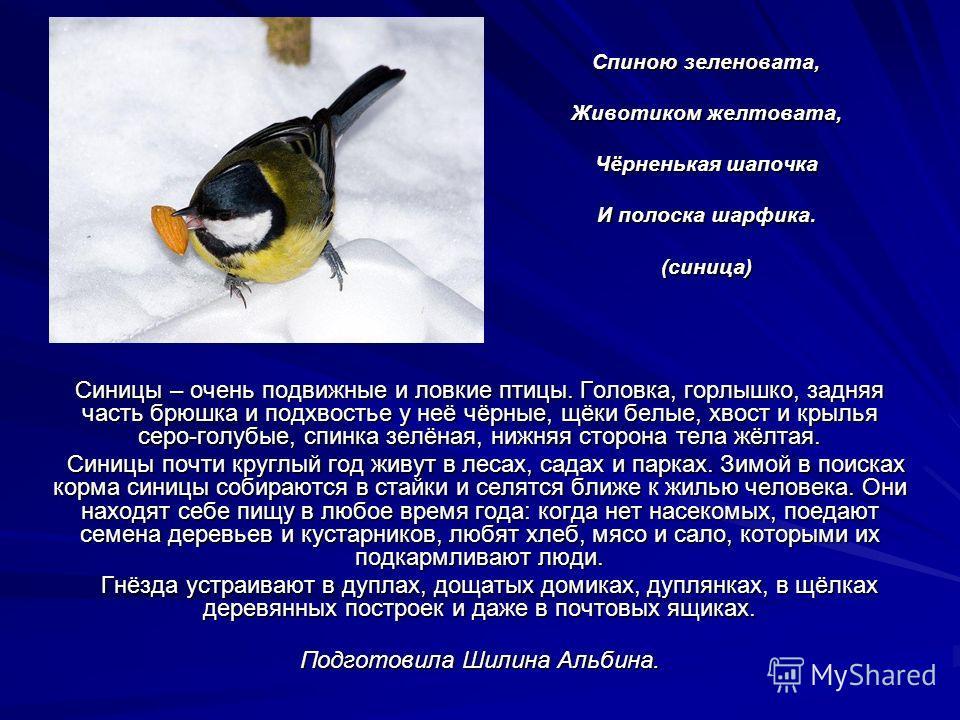 Спиною зеленовата, Животиком желтовата, Чёрненькая шапочка И полоска шарфика. (синица) Синицы – очень подвижные и ловкие птицы. Головка, горлышко, задняя часть брюшка и подхвостье у неё чёрные, щёки белые, хвост и крылья серо-голубые, спинка зелёная,