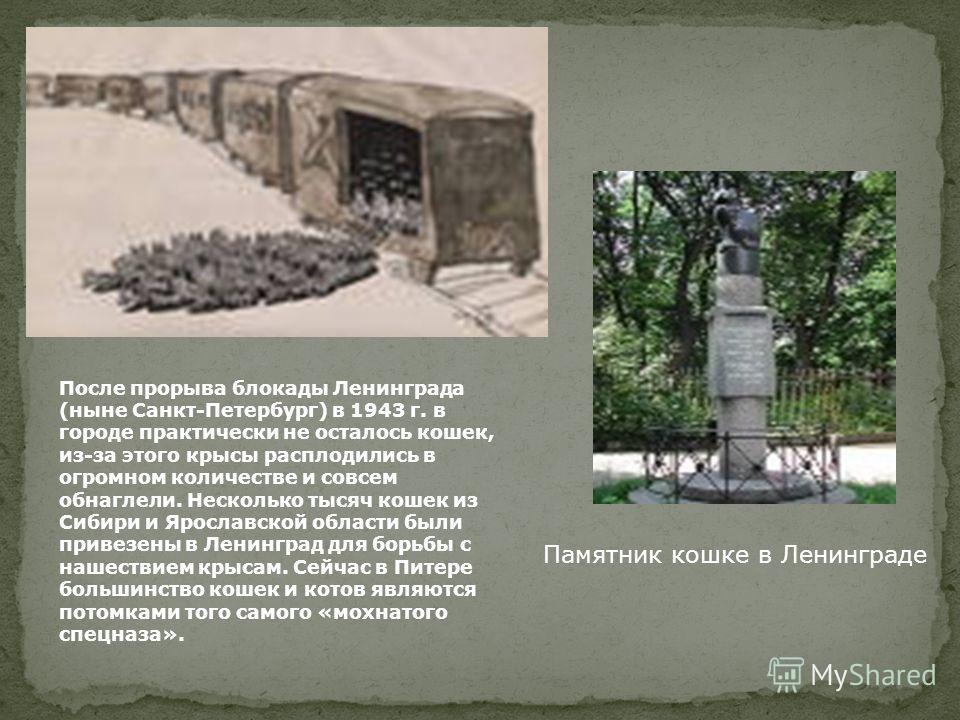 После прорыва блокады Ленинграда (ныне Санкт-Петербург) в 1943 г. в городе практически не осталось кошек, из-за этого крысы расплодились в огромном количестве и совсем обнаглели. Несколько тысяч кошек из Сибири и Ярославской области были привезены в