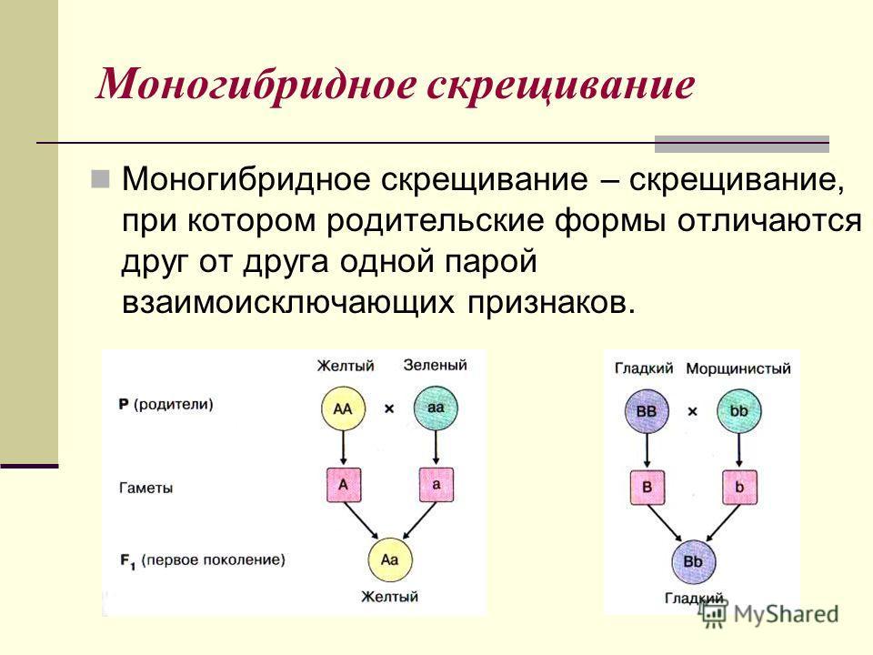 Моногибридное скрещивание Моногибридное скрещивание – скрещивание, при котором родительские формы отличаются друг от друга одной парой взаимоисключающих признаков.