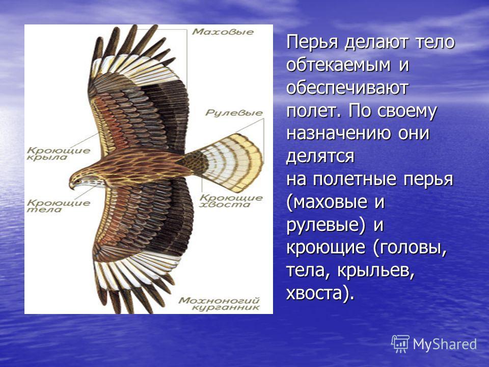 Перья делают тело обтекаемым и обеспечивают полет. По своему назначению они делятся на полетные перья (маховые и рулевые) и кроющие (головы, тела, крыльев, хвоста).
