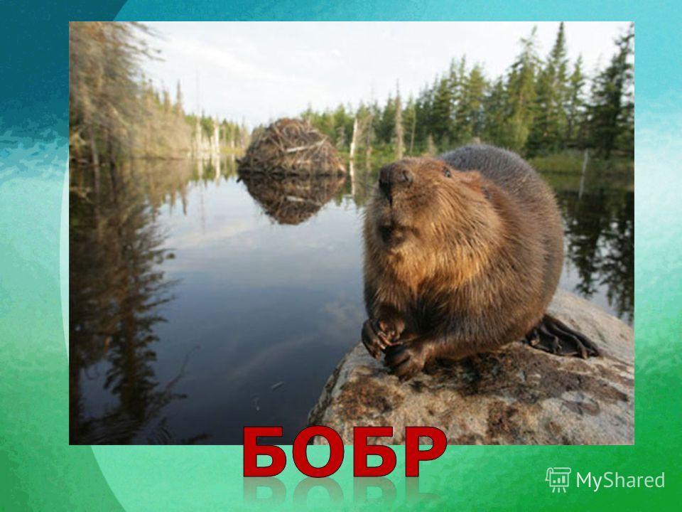 Если дальше в лес пройдём, Речку там с тобой найдём. Здесь на речке лесорубы Ходят в серебристых шубах. Из деревьев, брёвен, глины Строят мощные плотины. На плотинах нет дыры, Лесорубы же -...