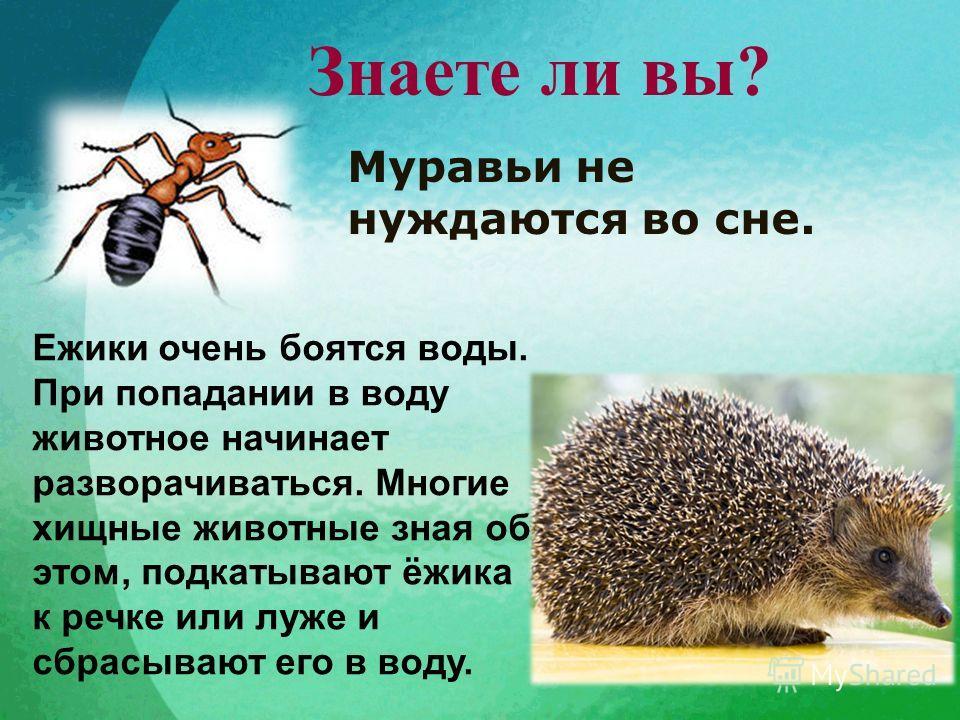 Знаете ли вы? Муравьи не нуждаются во сне. Ежики очень боятся воды. При попадании в воду животное начинает разворачиваться. Многие хищные животные зная об этом, подкатывают ёжика к речке или луже и сбрасывают его в воду.
