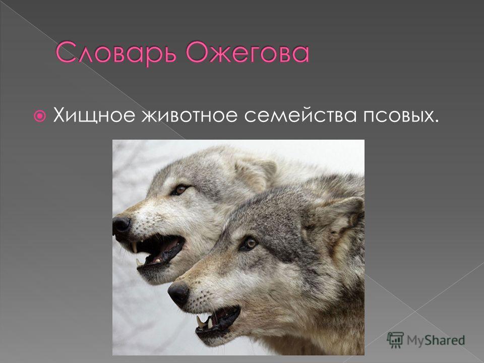 Хищное животное семейства псовых.