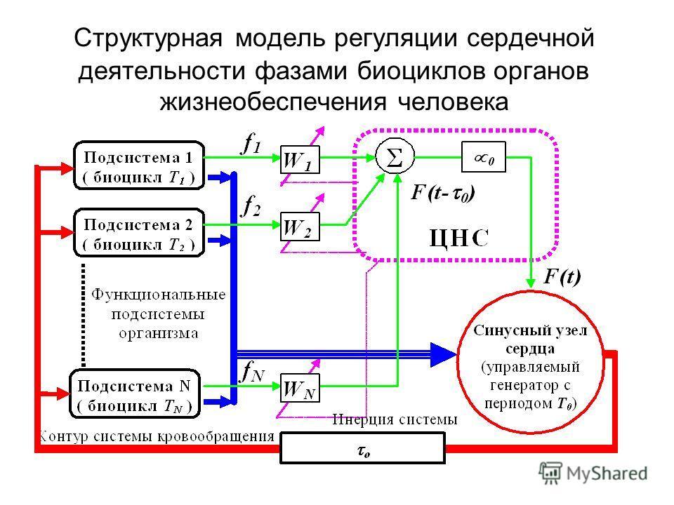 Структурная модель регуляции сердечной деятельности фазами биоциклов органов жизнеобеспечения человека