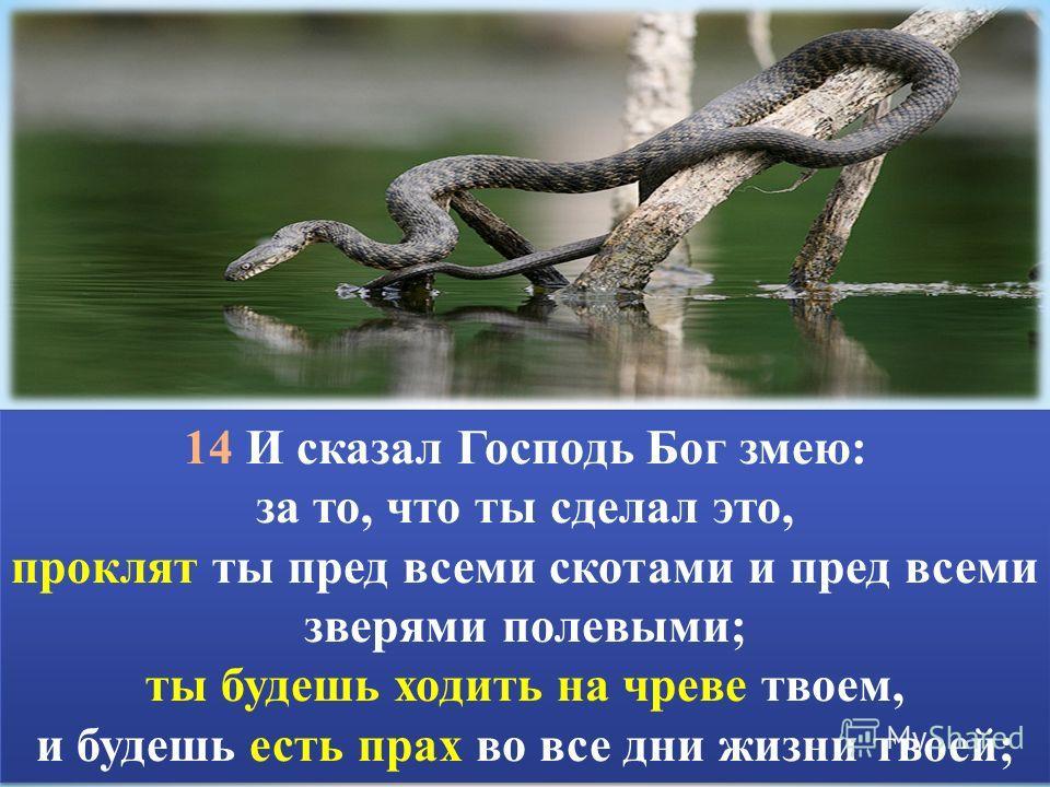 14 И сказал Господь Бог змею: за то, что ты сделал это, проклят ты пред всеми скотами и пред всеми зверями полевыми; ты будешь ходить на чреве твоем, и будешь есть прах во все дни жизни твоей; 14 И сказал Господь Бог змею: за то, что ты сделал это, п