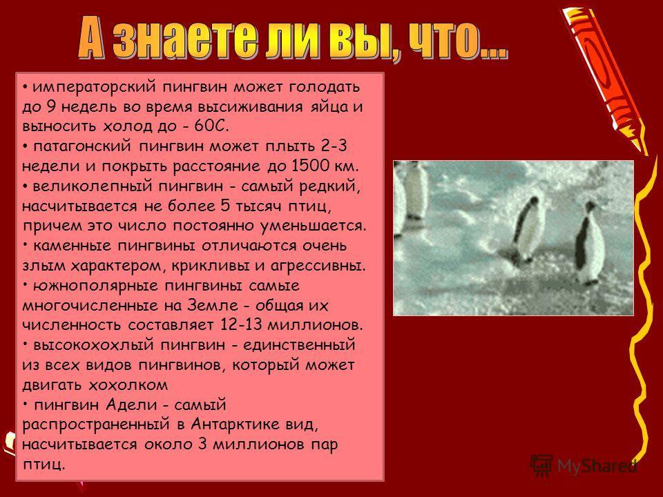 императорский пингвин может голодать до 9 недель во время высиживания яйца и выносить холод до - 60С. патагонский пингвин может плыть 2-3 недели и покрыть расстояние до 1500 км. великолепный пингвин - самый редкий, насчитывается не более 5 тысяч птиц