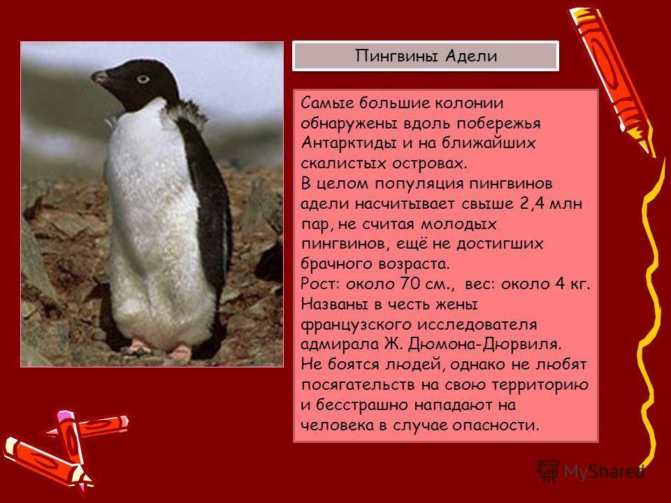 Самые большие колонии обнаружены вдоль побережья Антарктиды и на ближайших скалистых островах. В целом популяция пингвинов адели насчитывает свыше 2,4 млн пар, не считая молодых пингвинов, ещё не достигших брачного возраста. Рост: около 70 см., вес: