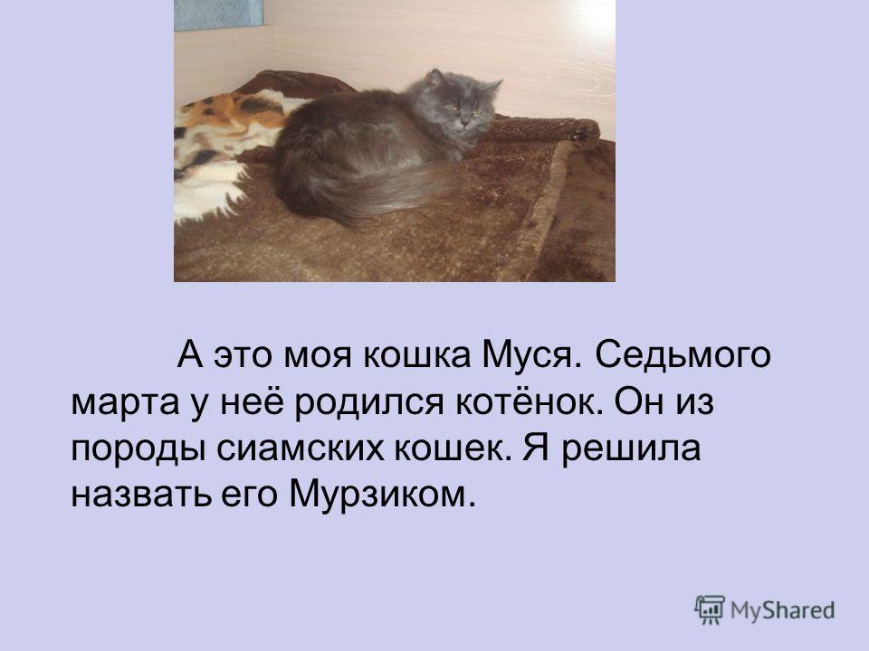 А это моя кошка Муся. Седьмого марта у неё родился котёнок. Он из породы сиамских кошек. Я решила назвать его Мурзиком.