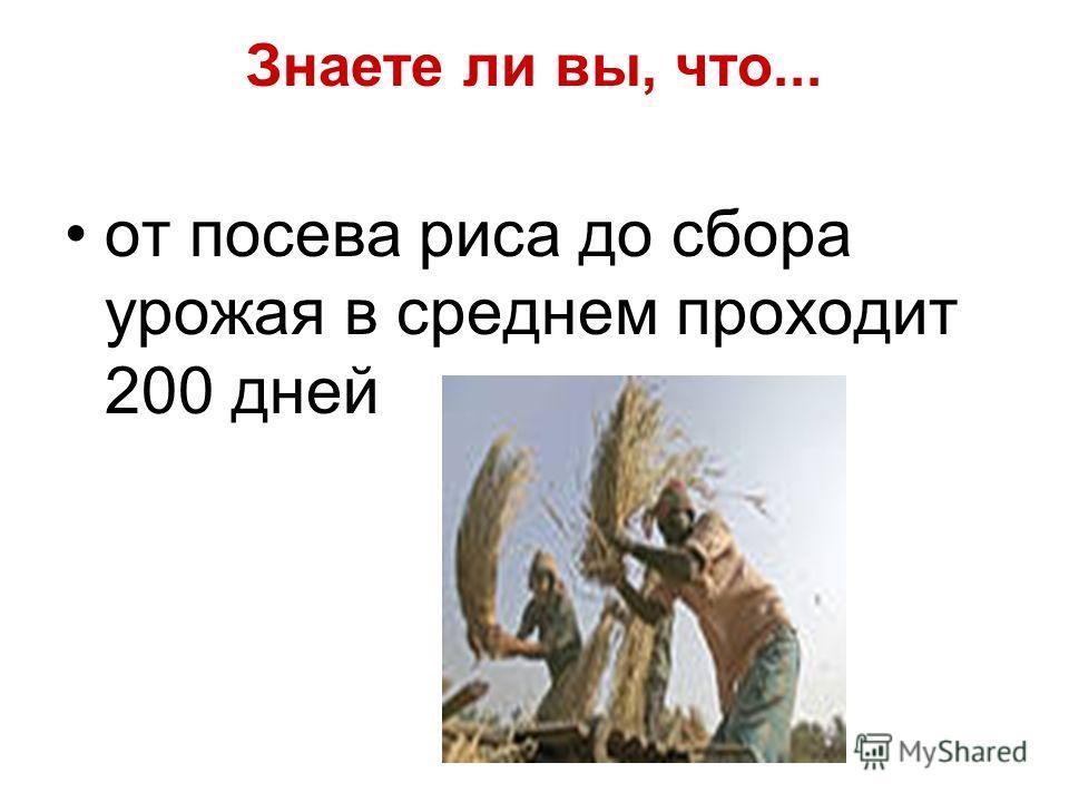 Знаете ли вы, что... от посева риса до сбора урожая в среднем проходит 200 дней