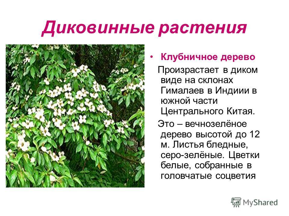 Диковинные растения Клубничное дерево Произрастает в диком виде на склонах Гималаев в Индиии в южной части Центрального Китая. Это – вечнозелёное дерево высотой до 12 м. Листья бледные, серо-зелёные. Цветки белые, собранные в головчатые соцветия
