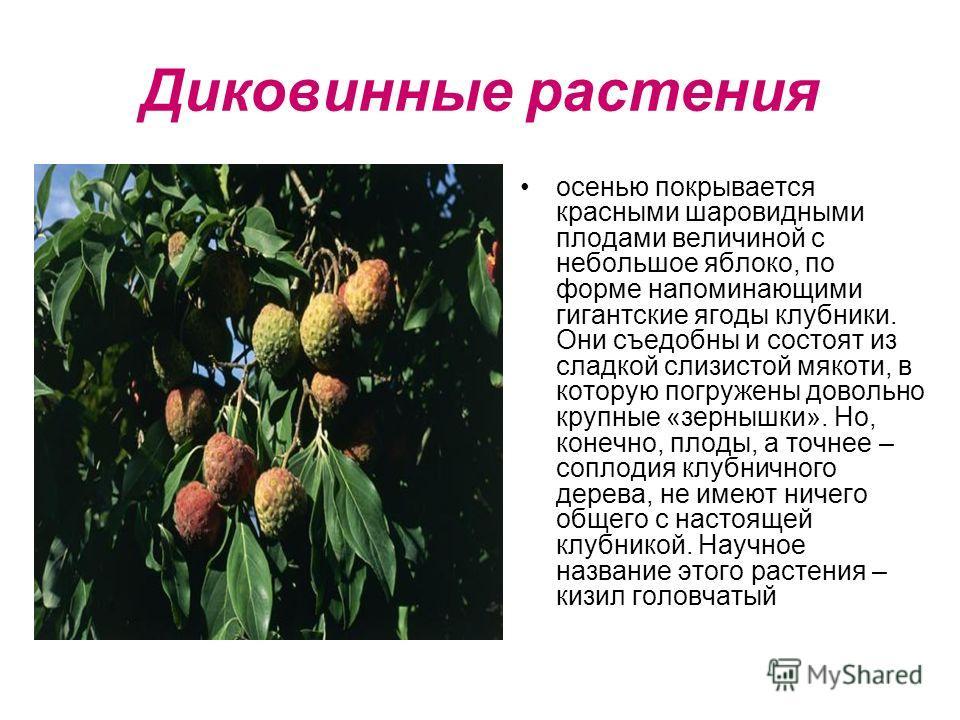 Диковинные растения осенью покрывается красными шаровидными плодами величиной с небольшое яблоко, по форме напоминающими гигантские ягоды клубники. Они съедобны и состоят из сладкой слизистой мякоти, в которую погружены довольно крупные «зернышки». Н