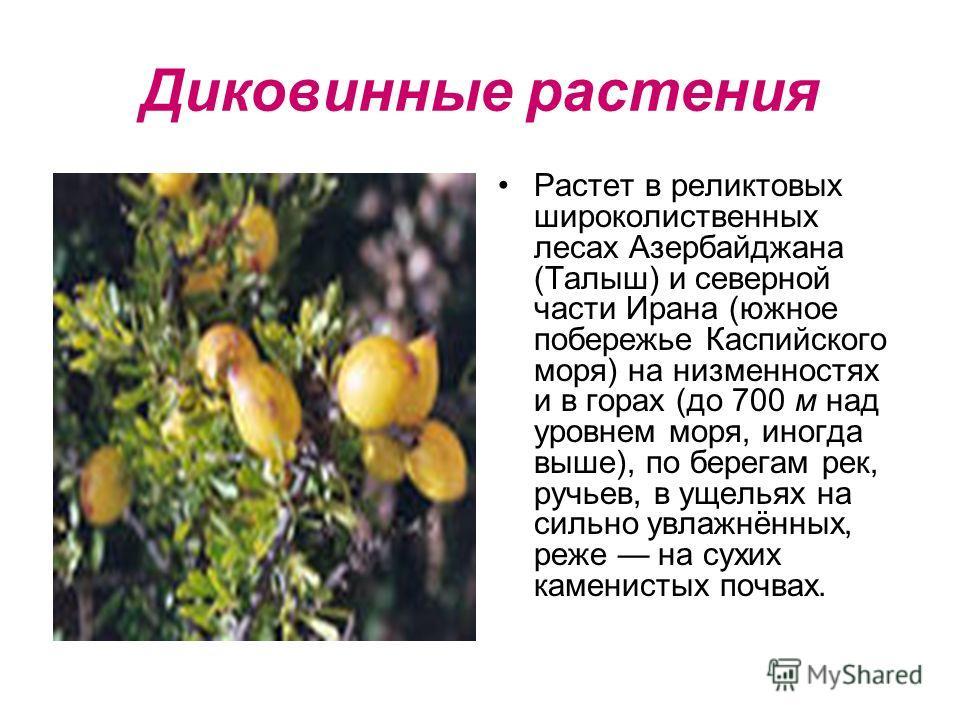 Диковинные растения Растет в реликтовых широколиственных лесах Азербайджана (Талыш) и северной части Ирана (южное побережье Каспийского моря) на низменностях и в горах (до 700 м над уровнем моря, иногда выше), по берегам рек, ручьев, в ущельях на сил