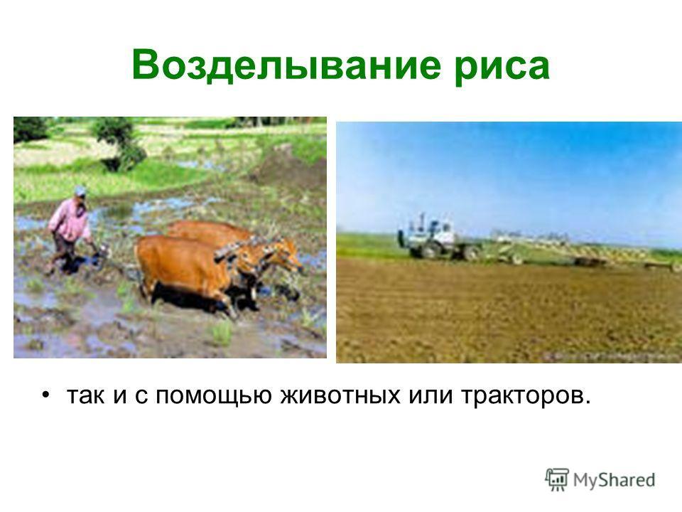 Возделывание риса так и с помощью животных или тракторов.