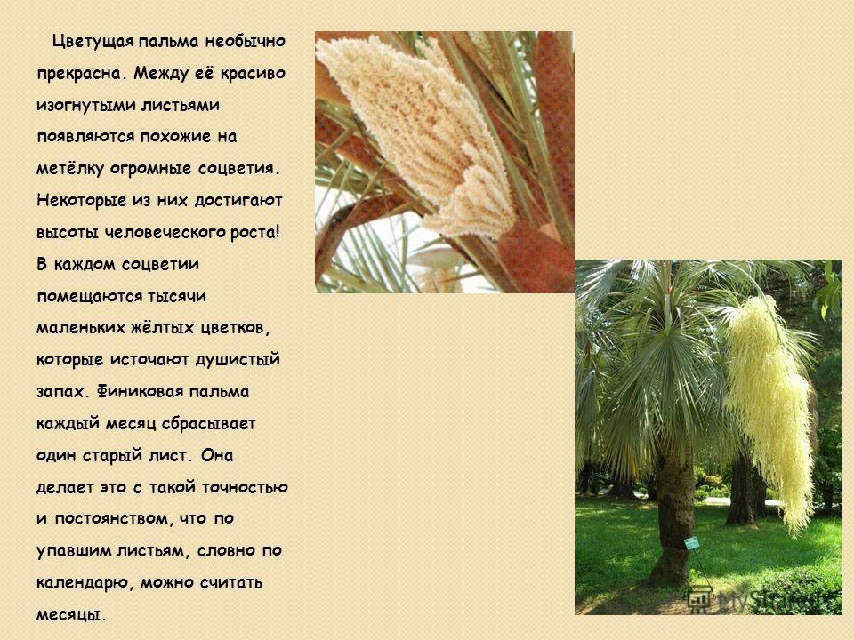 Цветущая пальма необычно прекрасна. Между её красиво изогнутыми листьями появляются похожие на метёлку огромные соцветия. Некоторые из них достигают высоты человеческого роста! В каждом соцветии помещаются тысячи маленьких жёлтых цветков, которые ист