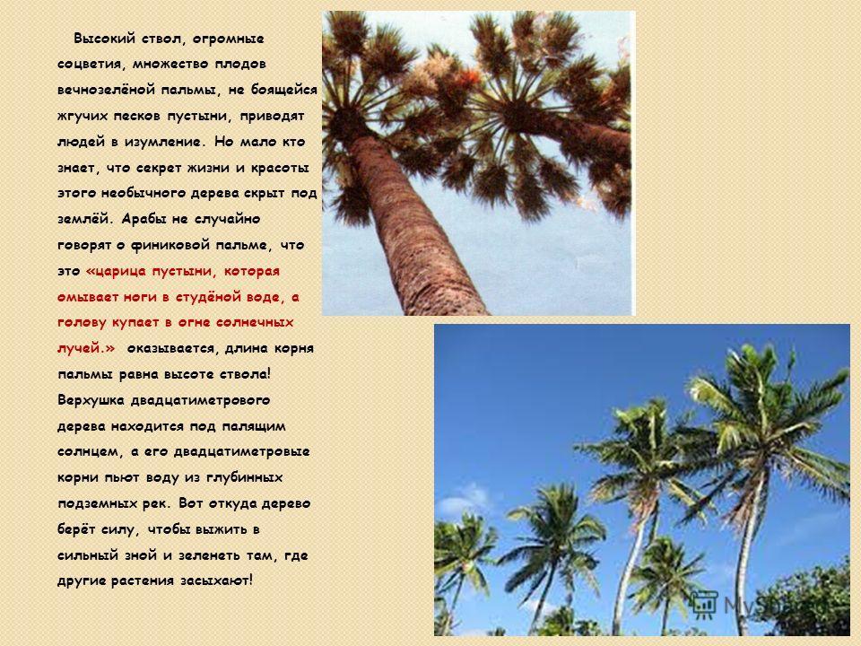 Высокий ствол, огромные соцветия, множество плодов вечнозелёной пальмы, не боящейся жгучих песков пустыни, приводят людей в изумление. Но мало кто знает, что секрет жизни и красоты этого необычного дерева скрыт под землёй. Арабы не случайно говорят о