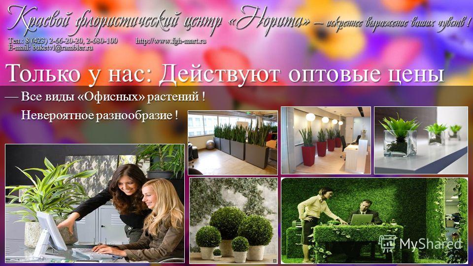 Все виды «Офисных» растений ! Все виды «Офисных» растений ! Невероятное разнообразие ! Невероятное разнообразие ! Только у нас: Действуют оптовые цены