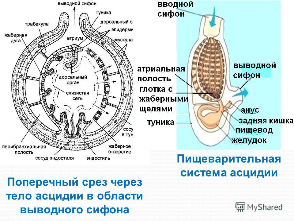 Поперечный срез через тело асцидии в области выводного сифона Атриальная полость Пищеварительная система асцидии