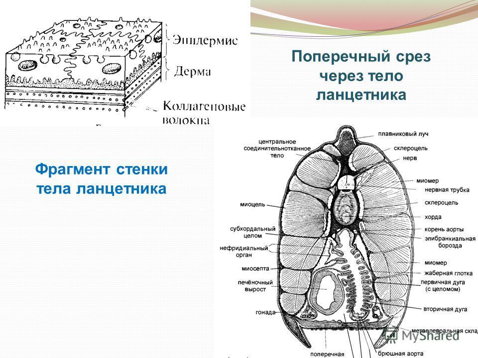 Фрагмент стенки тела ланцетника Поперечный срез через тело ланцетника