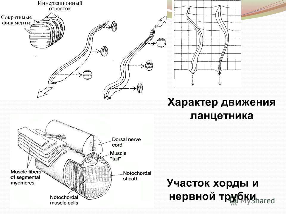Участок хорды и нервной трубки Характер движения ланцетника
