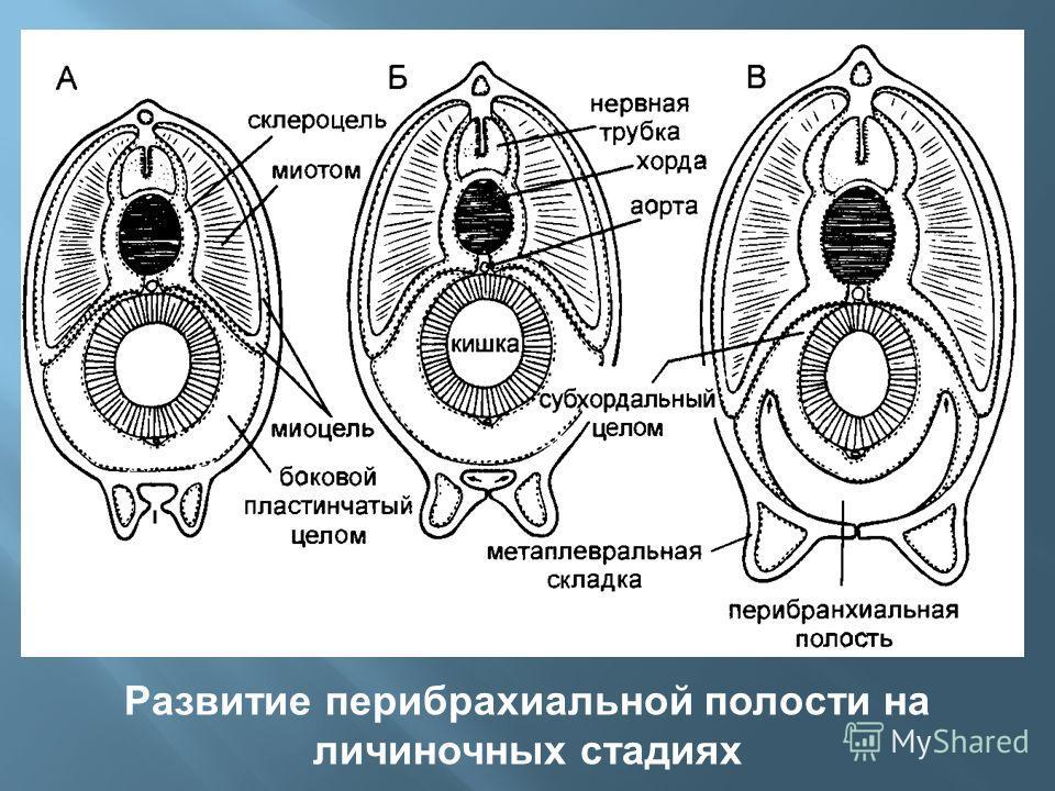 Развитие перибрахиальной полости на личиночных стадиях