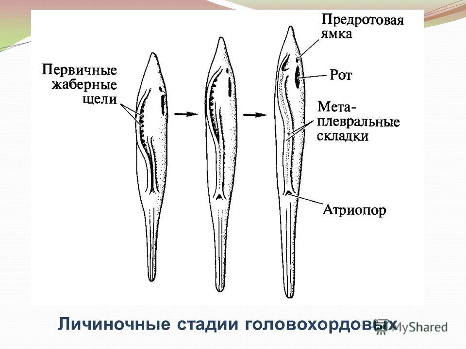 Личиночные стадии головохордовых